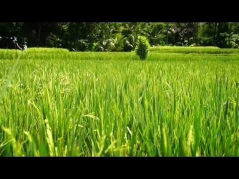 """Feeling like inside """"Eat, love and pray"""" - bicycling among the rice fields in Ubud.  Such a beautiful day. Beautiful nature. Beautiful scenery."""