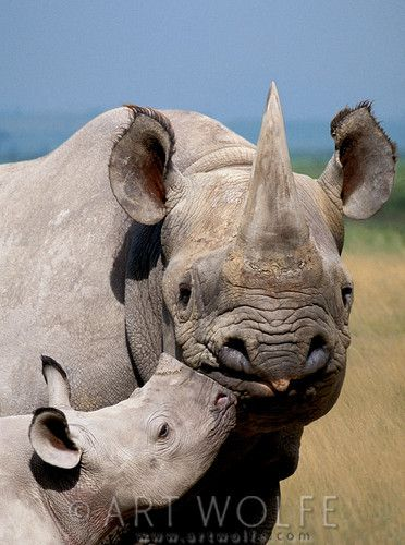 Africa | Black Rhinoceros mother and young, Ngorongoro Conservation Area, Tanzania | © Art Wolfe