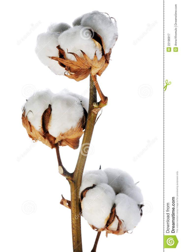хлопок растение - Поиск в Google