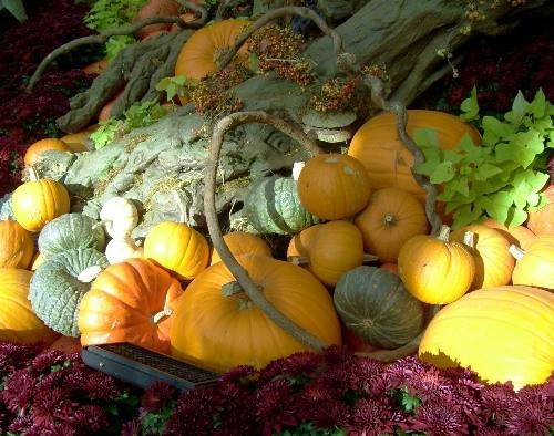 Pumpkin Patch, Vegas Style Autumn in Vegas Bellagio Conservatory and Botanical Garden: Photo © Lisa Hallett Taylor A pile of orange and blue-green pumpkins, magenta mums and lime sweet potato vine at the Bellagio Conservatory's Autumn Harvest show in Las Vegas