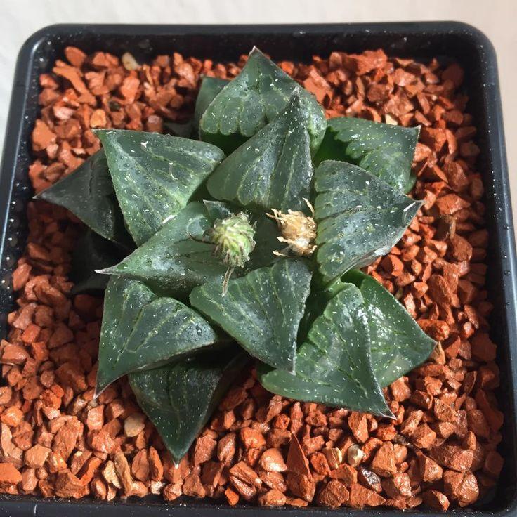 Haworthia pygmaea JDV84/15