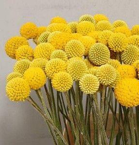 Craspedia Globosa   Billy Balls or Drumstick Flower  Australia Native