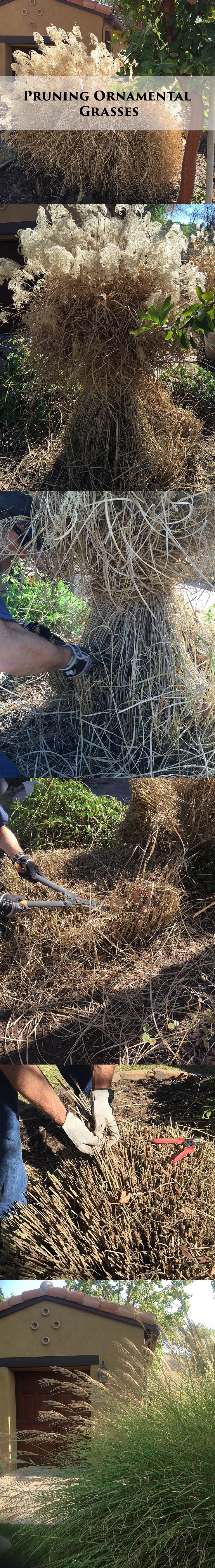 When your ornamental grasses finish blooming and are browning out -- grab and gather, start cutting, tidy up, remove loose/dead/matted material, and TA-DA! It will look great next spring!