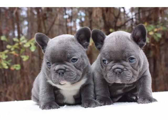 Stunningbluefrenchbulldogpupppiesforsale Blue French Bulldog