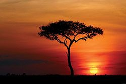 african tree silhouette | Acacia Tree Silhouette at Sunset