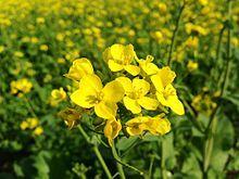 Mustard. Bio fumigant. Dynamic accumulator (phosphorous, calcium, sulphur, manganese, copper, zinc).