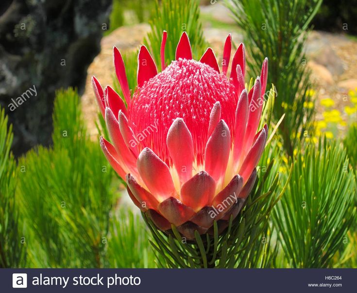 Download this stock image: Protea  aristata in Kirstenbosch botanical Garden, Cape Town, South Africa - H6C264 from Alamy's library of millions of high resolution stock photos, illustrations and vectors.