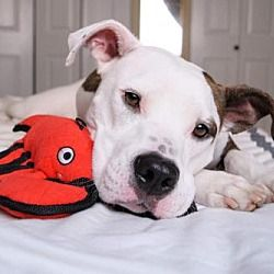 Pictures of DeeDee a Pit Bull Terrier for adoption in St. Louis, MO who needs a loving home.