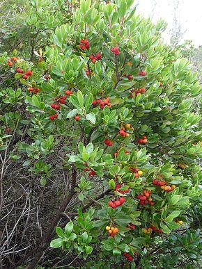 arbousier, arbre aux fraises, bénéfique pour le terrain