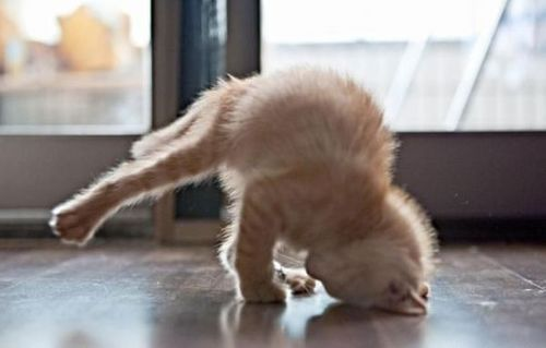 Yoga cat, Nect he'll try to do the upward facing dog.