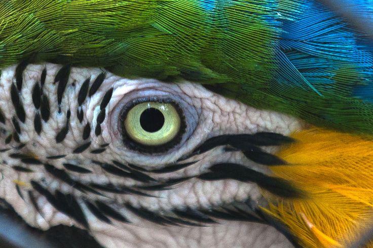 Seekor burung nuri Arara di kebun binatang Rio de Janeiro, Brazil.