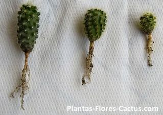 4 Tipos de raíces de cactus + Consejos de cultivo > Plantas - Flores - Cactus