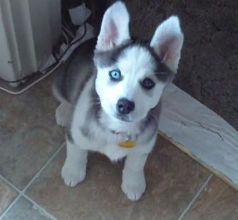 At just 9 weeks old Bella the Husky puppy can already say 'I love you' back in response to her owner. Watch and listen :-)