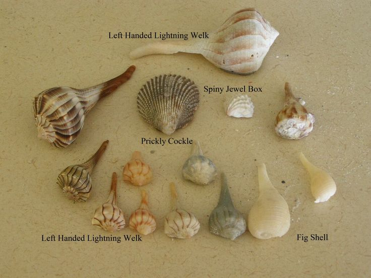 46 best Seashells images on Pinterest | Sea shells, Seashells and ...
