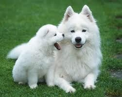 Too cute!!! Samoyed puppy and it's mother!