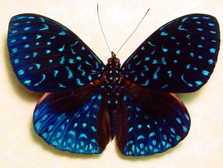 The Velutina Cracker (Hamadryas velutina) is a butterfly of the family Nymphalidae. It is found in the Amazon Basin. The wingspan is ca. 36 mm.