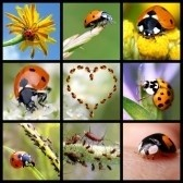 Digibordlessen lieveheersbeestjes: http://digibordonderbouw.nl/index.php/themas/dieren/lieveheersbeestjes