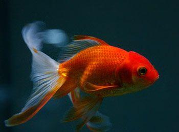 L'orifiamma, parente del comune pesce rosso, è un pesce d'acqua dolce che può raggiungere anche i 20 cm di lunghezza!