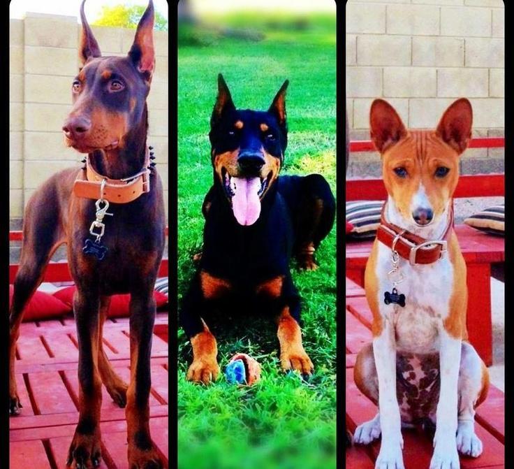 Millers Modern Pet Boutique, Pet Supplies Red doberman, Black and Tan doberman and a brindle basenji!