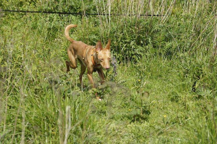 PIXIE is een heerlijke jonge vent!!       Zoekt een 4 Ever Home!       In opvang Nederland.   http://www.podencoworld.nl/adoptiehonden/honden/1-podencos/261-pixie…
