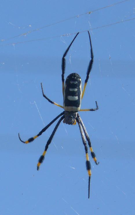 Wagon Wheel Spider