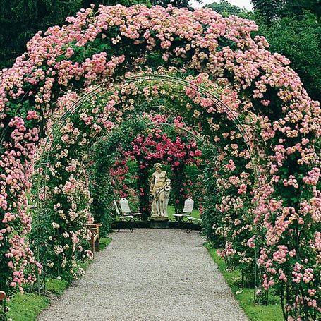 Rose Kletterrose/ Ramblerrose Raubritter...  Überreich blühend, dicht gedrängt, massenhaft > Blütemonate: Juni-Juli - Wuchshöhe: 2m -  Standort: sonnig Winterhart