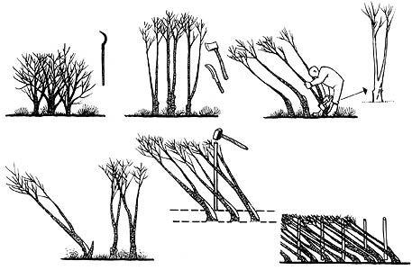Hedgelaying steps
