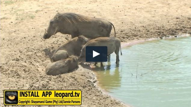 Why do warthogs like to roll in mud? #leopardtv #nature #science