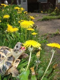 Yummy... Dandelions. Oh, yes, and they'll eat all the flowers in your garden if you aren't careful!