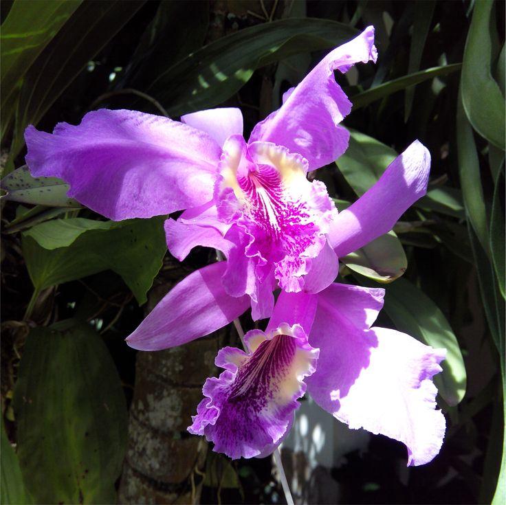 Orquídea en la Isla de Margarita