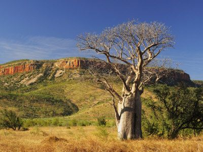 Boab Tree and Cockburn Ranges, Kimberley, Western Australia, Australia, Pacific