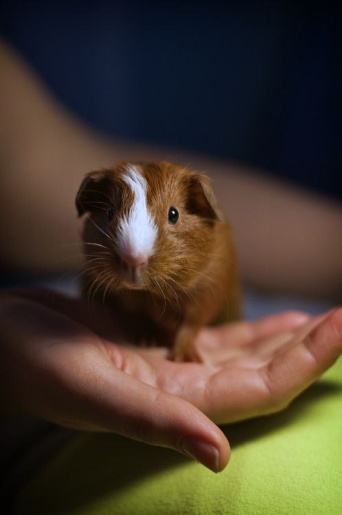 Going to get a guinea pig in an hour, what should i buy?