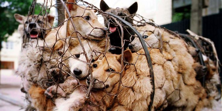 1000-yulin-dogs-in-cages / any different than cows, chickens, pigs?