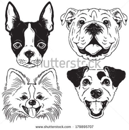 A set of 4 dog's faces: Boston Terrier, English Bulldog, Toy Pomeranian, Jack Russell Terrier. Black and white vector sketches.