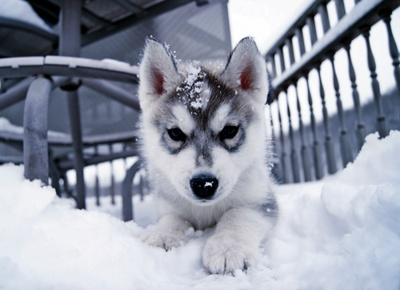 siberian husky puppy at home in the snow