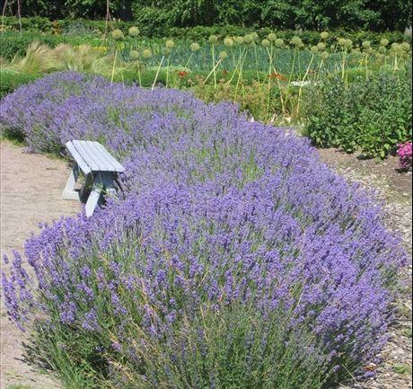 Lavendel - framför altanen?