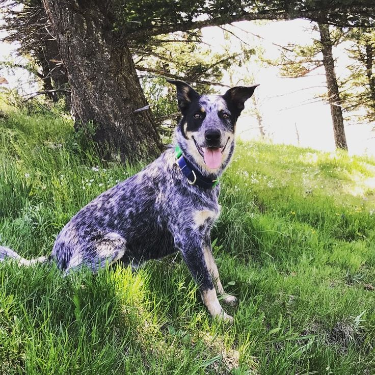 Finn, our first blue heeler. We will forever have blue heelers because of him.