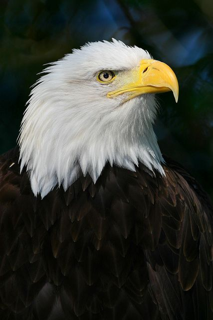 Bald Eagle..................God bless America!