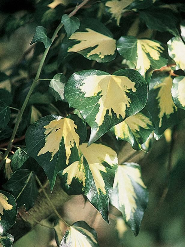 Yellow Variegated Ivy - Types of Plants for Arches and Pergolas on HGTV