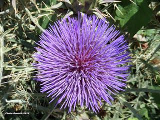ΡΟΔΟΣυλλέκτης: Η χρησιμότητα και τα λουλούδια της αγριαγκινάρας (...