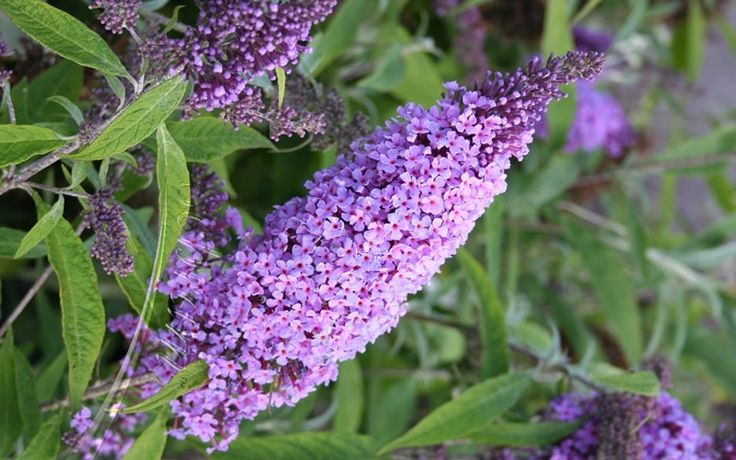 Buzz Lavender Dwarf Butterfly Bush