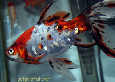 a cute shubunkin goldfish