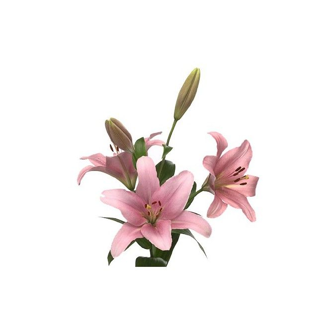 Lys asiatique rose - livraison fleurs coupées mariage - France Fleurs