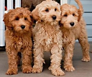 omgosh they don't even look real... miniature golden doodles