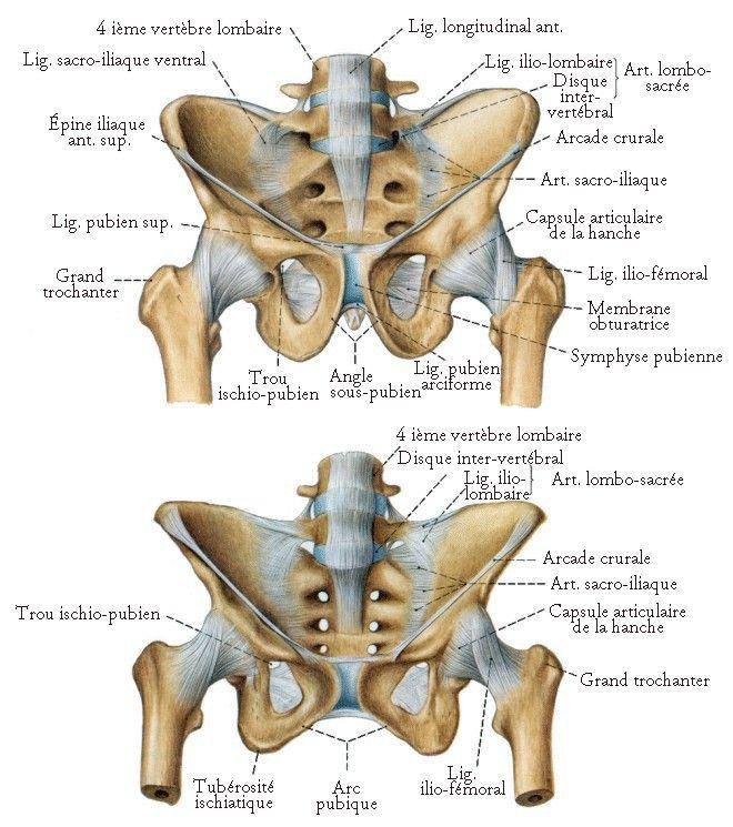 Les Os du Bassin - planches anatomiques.