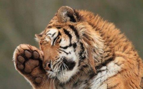 Амурский (уссурийский) тигр. Подборка фотографий