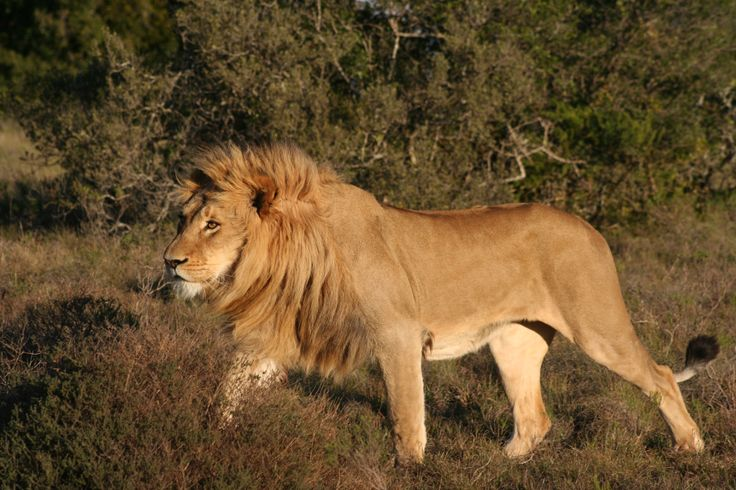 This stunning Lion was spotted at #Amakhala Game Reserve. #safari #lion #wildlife