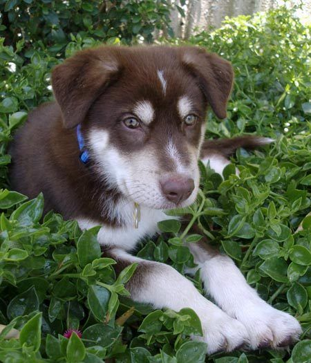 husky australian shepherd mix... so adorable! | Wonderful ...