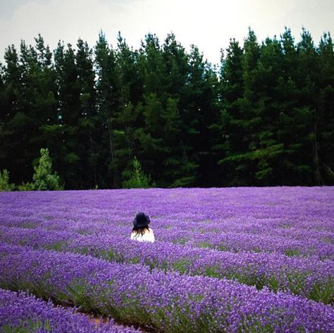 Visit lavender fields. | 27 Things You Didn't Know You Could Do In Tasmania