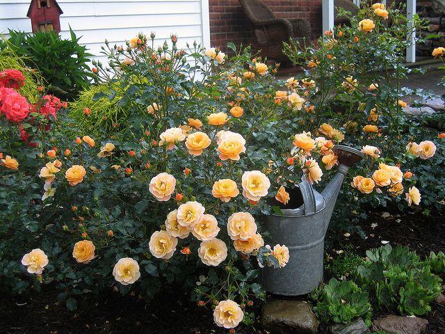 Best Flower Carpet Roses Images On Pinterest Carpets Garden